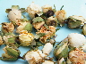 wholesale rose buds ivory