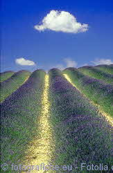 dried lavender field